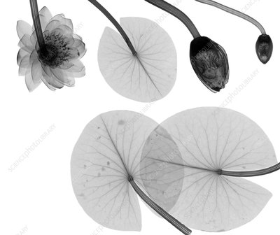 Water lily leaves and flowers, X-ray