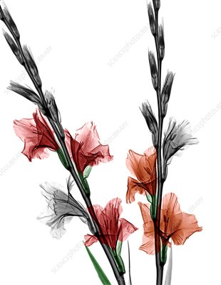 Gladiolus flowers, X-ray