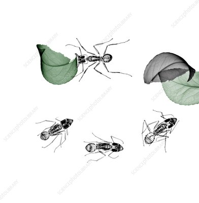 Ants carrying leaves, X-ray