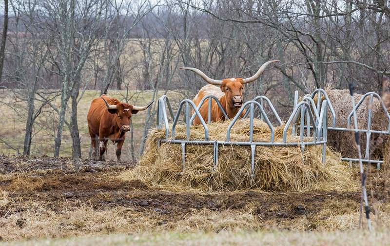 Texas Longhorn cattle at a hay feeder