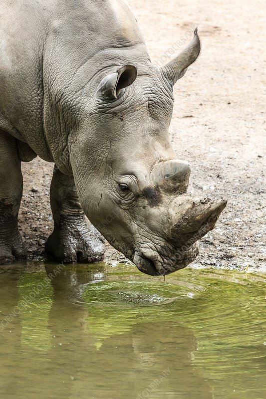Sub-adult male white rhinoceros drinking