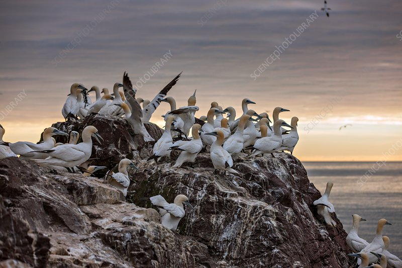 Northern gannet colony, Bass rock, Scotland