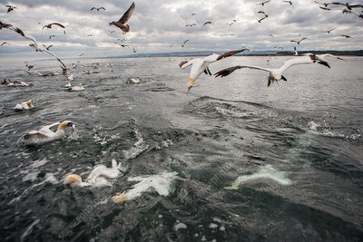 Gannets and gulls fishing, Scotland