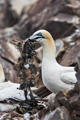Northern gannet nesting, Bass rock, Scotland
