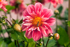 Dahlia 'Catcote Christopher'