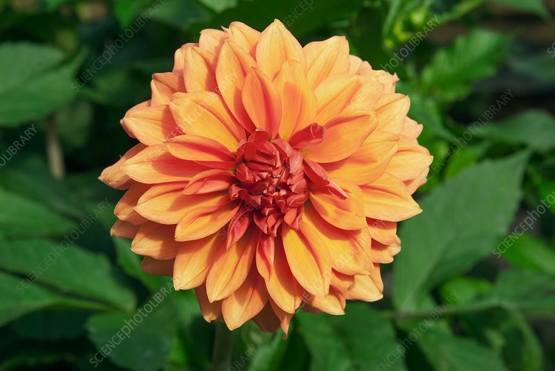 Dahlia 'Askwith Lorie'