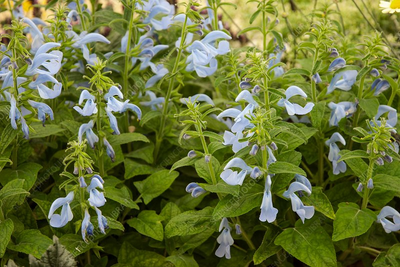 Salvia patens 'Patio Sky Blue'