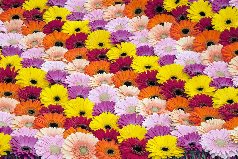 Patchwork of Gerbera flowers