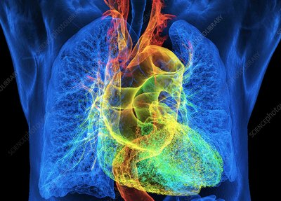 Human heart and lungs, 3D CT scan