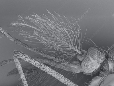 Male mosquito brush antenna, SEM