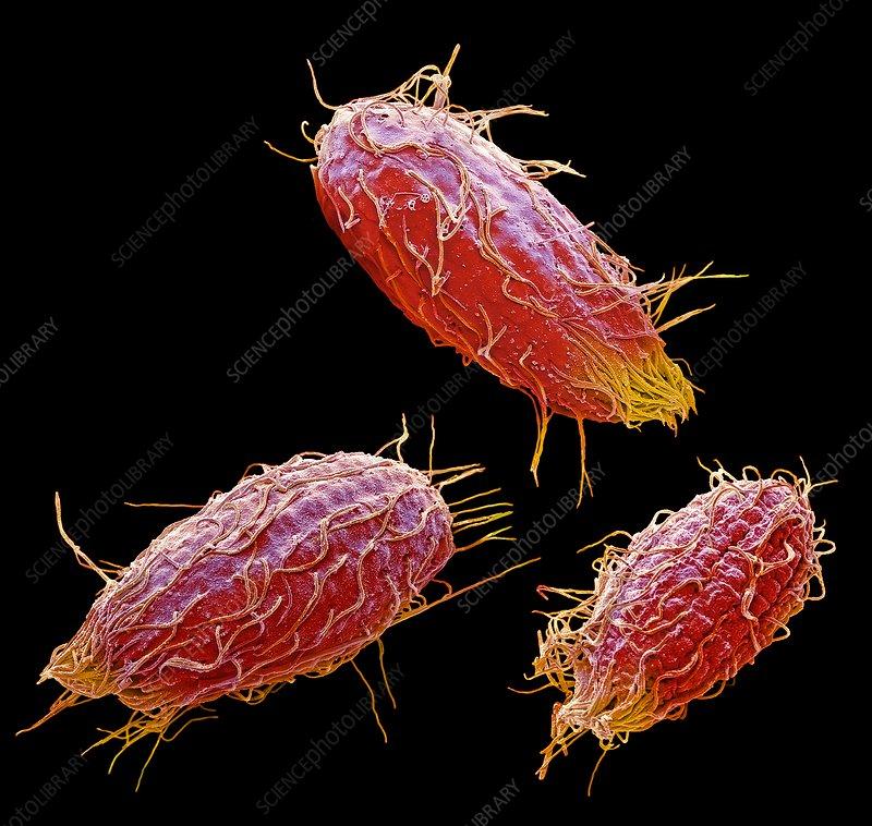Protozoa >> Colpidium Ciliate Protozoa Sem Stock Image C036 0576