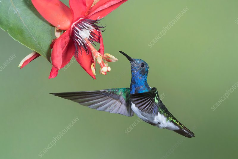White-necked jacobin hummingbird