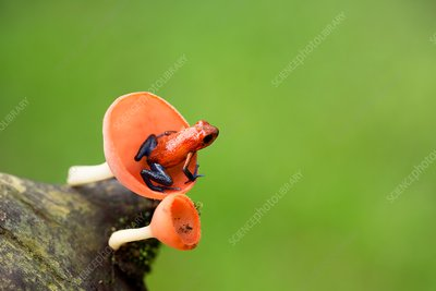 Strawberry poison dart frog