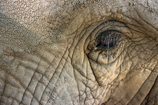 Elephant with wrinkled skin