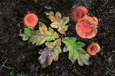 Deceiver fungus and leaves