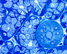 Sublingual gland, light micrograph