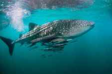 Whale shark and remoras