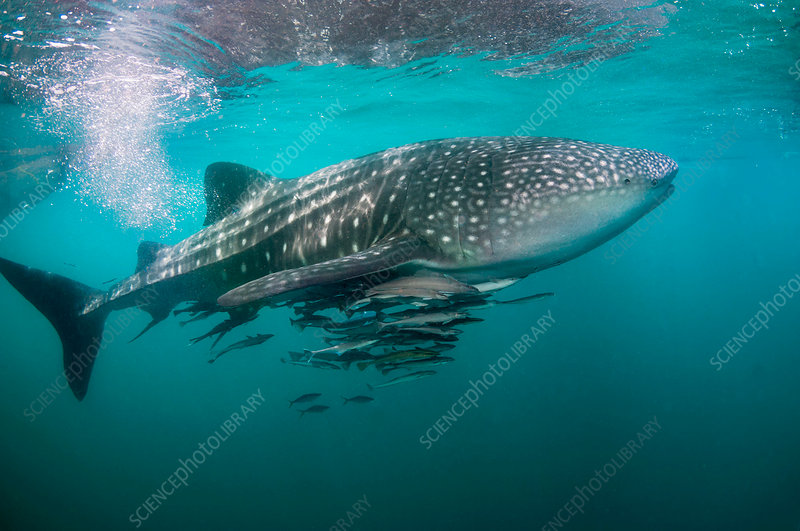Whale shark and remoras - Stock Image C036/1407 - Science Photo Library - photo#14