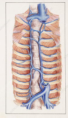 Azygos vein, illustration