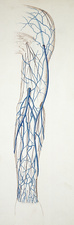 Superficial veins of arm, illustration