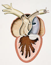 Sectioned frog heart, illustration
