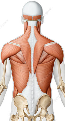 Muscles of the upper body posterior view, illustration