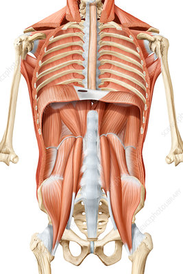 Deep trunk muscles anterior view, illustration