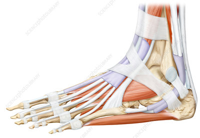 Foot muscles, illustration
