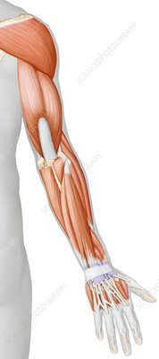 Muscles of the arm and hand posterior view, illustration