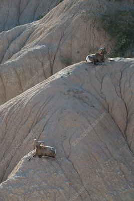 Bighorn Sheep, South Dakota, USA