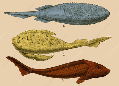 Armoured Fishes, Illustration