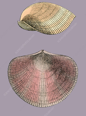 Devonian Brachiopod, Illustration