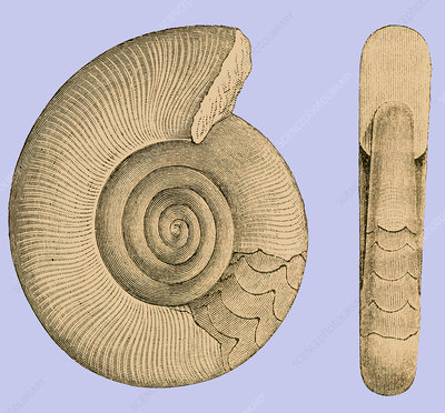 Devonian Ammonite, Illustration