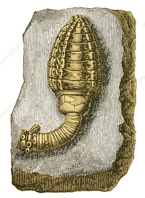 Devonian Crinoid, Illustration