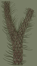 Lepidodendron Branch, Illustration