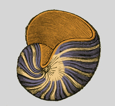 Carboniferous Gastropod, Illustration