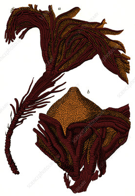 Crinoid Fossils, Illustration