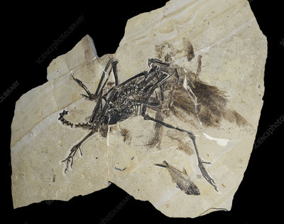 Flightless Bird Fossil