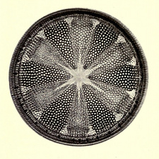 Diatom, Heliopelta Metil, Early Photomicrograph