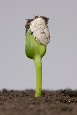 Sunflower seed germinating, 1 of 5
