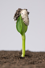 Sunflower seed germinating, 2 of 5