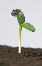 Sunflower seed germinating, 3 of 5