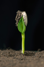 Sunflower seed germinating, 1 of 6