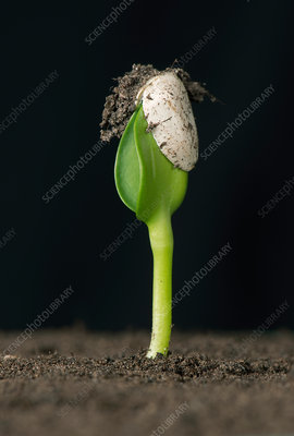 Sunflower seed germinating, 2 of 6