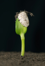 Sunflower seed germinating, 3 of 6