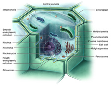 Plant Cell, Illustration