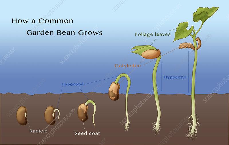 Bean Seed Germination  Illustration - Stock Image