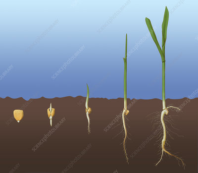 Corn Seed Germination, Illustration