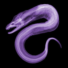 Moray Eel, X-ray