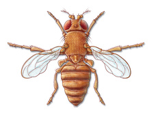 Fruit Fly with Vestigial Wings
